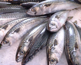 Atlantic mackerel fish high in omega-3 fatty acids